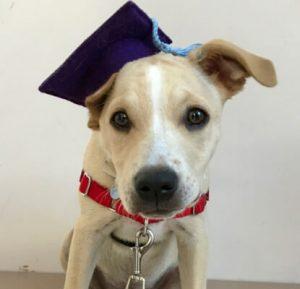 Small tan puppy wearing graduation cap