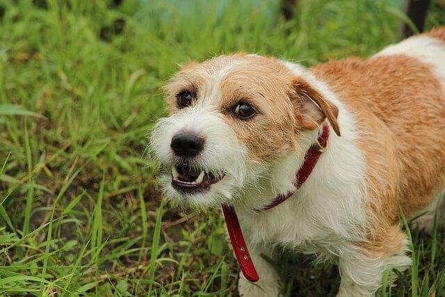 growling terrier dog